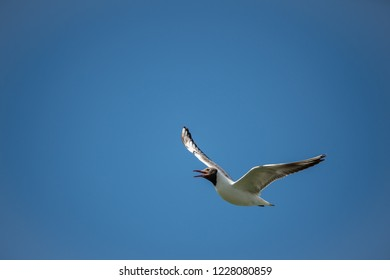 black headed gull flying in the cloudless blue sky