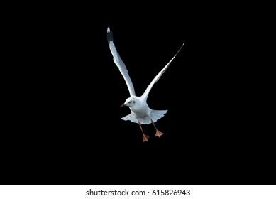 Black headed Gull  flying on black background