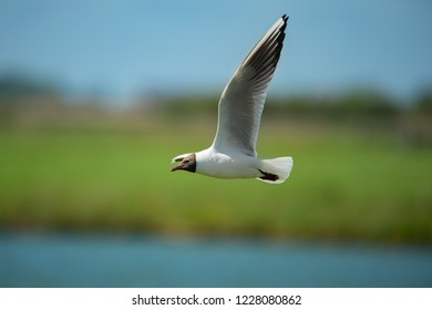 black headed gull flying at the waterside