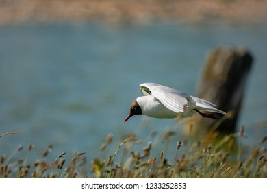 black headed gull flying at the waterside in Texel Holland Netherlands
