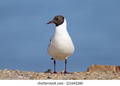 Black Headed Gull in full Summer plumage