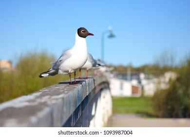 Black headed gull standing on the railing of a bridge