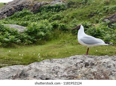 Black Headed Gull stands on a rock, located in the English Lake District (Cumbria)
