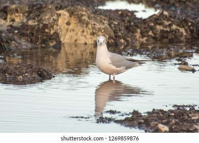 A Black Headed Gull in Winter Plumage  wading in the sea in Kent, UK in December.
