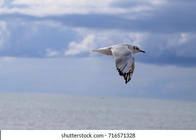 Black headed gull, in winter plumage