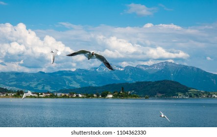 Black headed gulls breeding in great numbers in the spring on the shores of the Upper Zurich Lake (Obersee) along the Holzsteg near Rapperswil, Sank Gallen, Switzerland