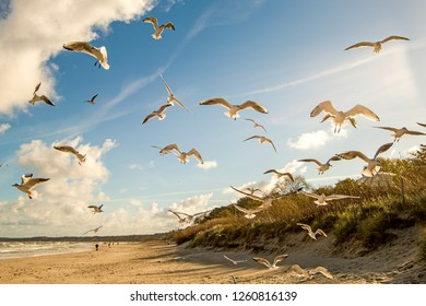 black headed gulls flying over beach of the Baltic Sea