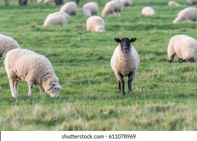 Black headed sheep in flock