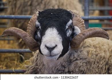 Black headed sheep at the Royal Highland Show 2018, Edinburgh, Scotland.