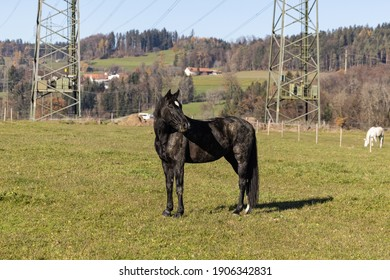 black heavily soiled horse standing on a green meadow with turned head, in the background you can see power poles and a white horse, in the daytime without people