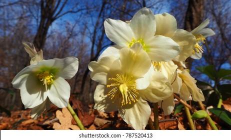 Black hellebore or Christmas rose, original name is Helleborus niger, is an evergreen perennial flowering plant.