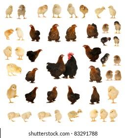 black hen on a white background