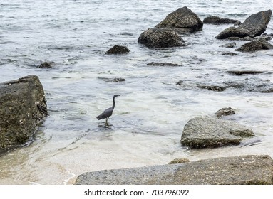 Black heron on the sea.