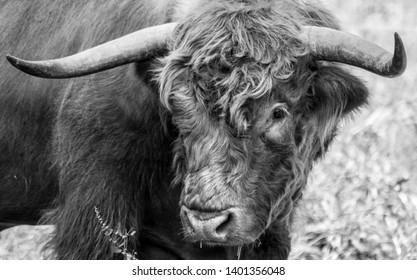 Black highland bull with nice big horns