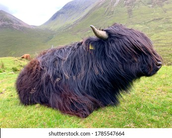 A black Highland bull is resting on the green grass in the hills of the Isle of Skye, Scotland.