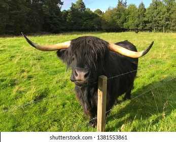 Black Highland cow in a fenced in pasture in Scotland,  United Kingdom