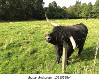 Black Highland cow scratching on a wooden post in a fenced in pasture in Scotland,  United Kingdom