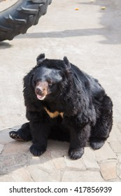 Black himalayan bear with a white patch of fur sitting and relaxing under the sun
