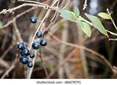 Black Honeysuckle berries