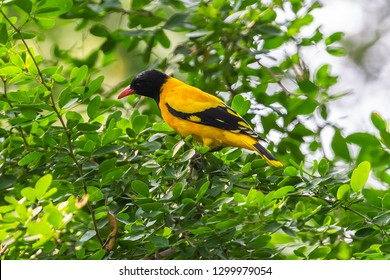 Black hooded oriole. Yala National Park. Sri Lanka.