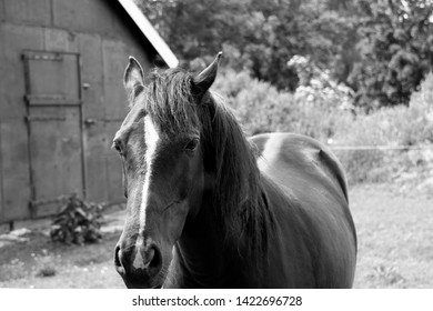 black hors in a black white bild with nice white  line on a head