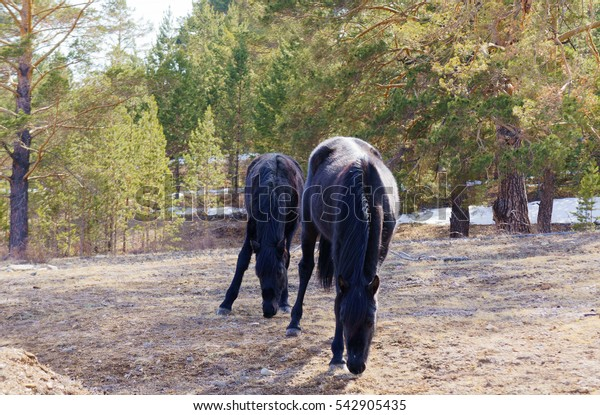 Black horse eating grass in the forest