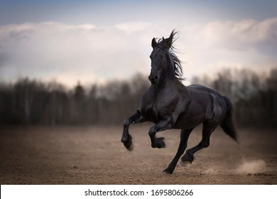 Black horse friesian breed running gallop