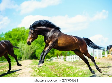 Black horse gallop. Jumping horse on a meadow.
