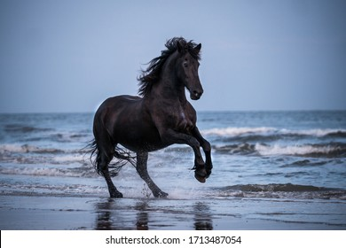 black horse galloping free at the beach