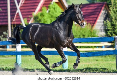 Black horse galloping on horse farm show