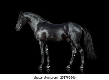 Black horse. Black horse isolated. Black horse cutout on black background.