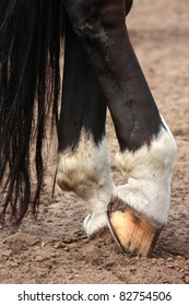 Black horse legs close up with horseshoe