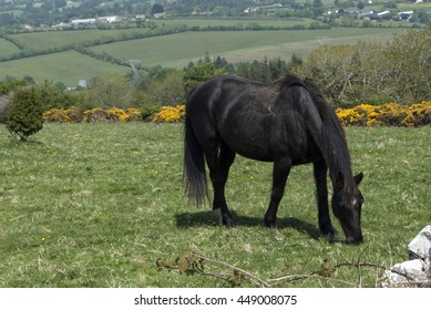 Black horse with black mane eating grass on the field