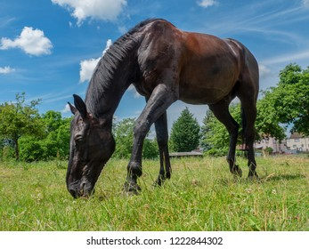 Black Horse on the Meadow