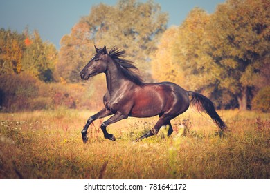 Black horse Orlov trotter breed galloping on the autumn nature background