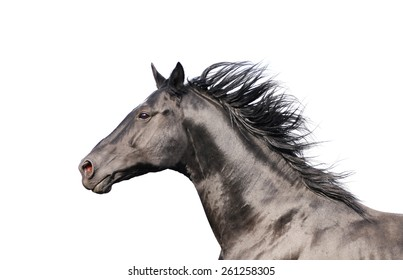 Black horse portrait in action isolated on white
