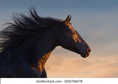 Black horse portrait in motion with long mane at sunset light