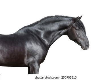 Black horse portrait on white background, isolated.