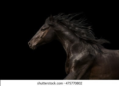 Black Horse portrait run isolated on black background