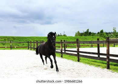 Black horse is running on a paddock. Animals, dressage concept.