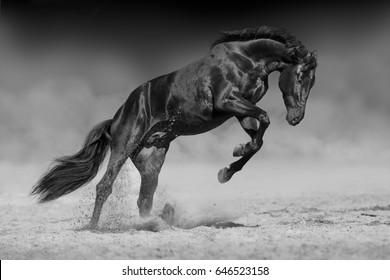 Black horse stallion play and jump in desert dust. Black and white horse