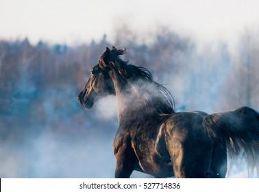 black horse winter portrait in action