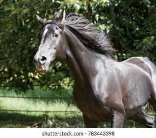 Black Horses Running