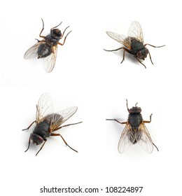 Black housefly set on white background