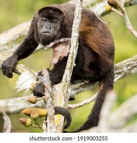 Black Howler Monkey Alouatta caraya, aka black-and-gold howler, Panama, Central America - Shutterstock ID 1919003255