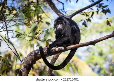 A Black Howler monkey (Alouatta pigra) sits in the jungle canopy of Belize. Black howlers, found in Mexico, Guatemala, and Belize, are folivorous, eating mostly leaves and occasional fruits.