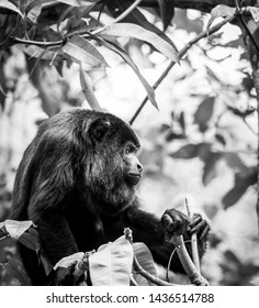 Black Howler Monkey sitting in the forest in stunning black and white