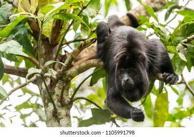 Black Howler Monkey swinging from trees in the forest