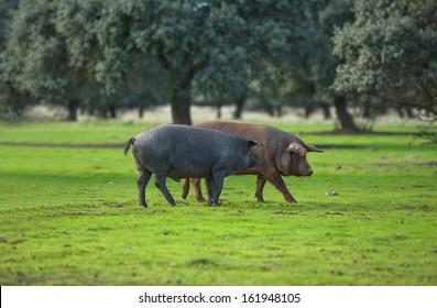 Black Iberian pigs in dehesa meadow. Extremadura, Spain