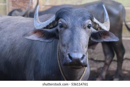 Black indian cow, Goa.